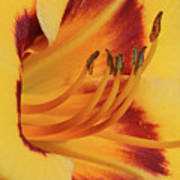 Kokomo Sunset 05 - Daylily Art Print