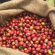 Kona Coffee Bean Harvest Art Print