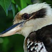 Kookaburra Portrait By Kaye Menner Art Print