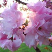 Kwanzan Cherry Blossoms Art Print