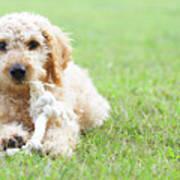 Labradoodle Puppy In Grass Art Print