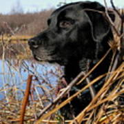 Labrador Retriever Waiting In Blind Art Print