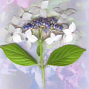 Lacecap Hydrangea Art Print