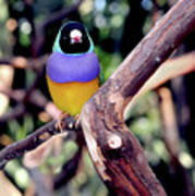 Lady Gouldian Finch Art Print