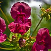 Lady Slipper Orchid Dan146 Art Print