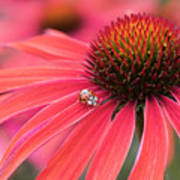 Ladybird And Echinacea Art Print