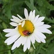 Ladybug On Daisy Art Print