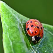 Ladybug With Dew Drops Art Print