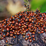 Ladybugs On Branch Art Print by Garry Gay