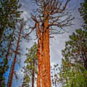 Lake Tahoe Trees On 89  Art Print