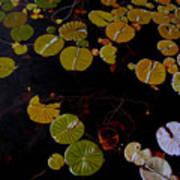 Lake Washington Lilypad 8 Art Print