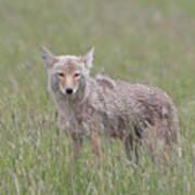 Lamar Valley Coyote Art Print
