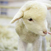 Lamb At Denver Stock Show Print by Anda Stavri Photography