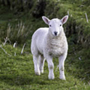 Lamb On The Isle Of Skye Art Print