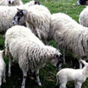 Lambs And Sheep Art Print