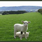 Lambs In Pasture Art Print