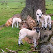 Lambs Art Print