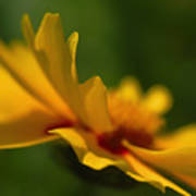 Lance Leaved Coreopsis Art Print