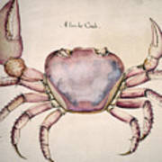 Land Crab Art Print