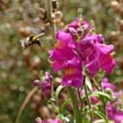 Landing Bumblebee Art Print