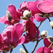 Landscape Pink Magnolia Flowers 46 Blue Sky Magnolia Tree Art Print