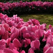 Lane Of Pink Art Print