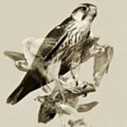 Lanner Falcon Collage Art Print