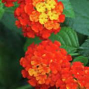 Lantana Bandana Red Flower Art Print