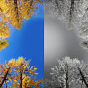 Larches Color To Black And White Reflection Art Print