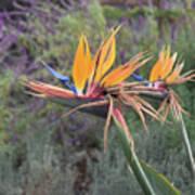 Large Bird Of Paradise Flower In Full Bloom  Art Print