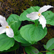 Large Flower Trillium Pair Art Print
