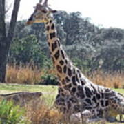 Large Giraffe Art Print