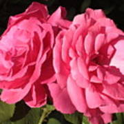 Large Pink Roses Art Print