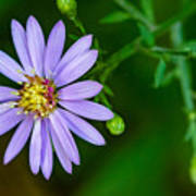 Late Purple Aster Art Print