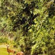 Late Summer Deer Art Print