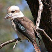 Laughing Kookaburra A Art Print