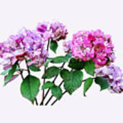 Lavender And Rose Hydrangeas Art Print