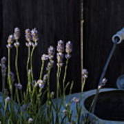 Lavender And Watering Can Art Print
