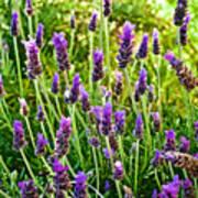 Lavender At Pilgrim Place In Claremont-california Art Print