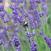 Lavender Beetle Art Print