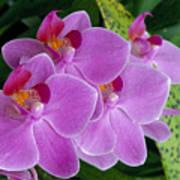 Lavender Colored Orchids Art Print