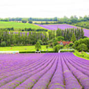 Lavender Farms In Sevenoaks Art Print