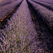Lavender Field Provence France Art Print