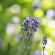 Lavender Garden Art Print by Frank Tschakert
