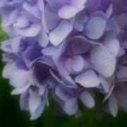 Lavender Hydrangea Art Print