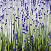 Lavender Patterns Art Print