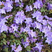 Lavender Rhododendrons Art Print