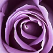 Lavender Rose Art Print