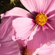 Layers Of Pink Cosmos Art Print