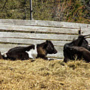 Lazy Cows And Weathered Wood Art Print